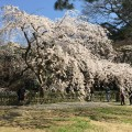 早咲き桜 近衛邸跡地@京都御苑 – early-blooming cherry blossoms at Konoe-tei of Kyoto Gyoen National Garden