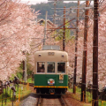 いよいよ桜のシーズン –  The season of cherry blossoms is now approaching!