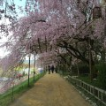 半木の道 – The sakura street along with Kamogawa River